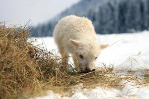 Portrait of a baby sheep skudde grazing on straw in the snow