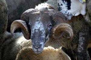 carnero con cuernos foto