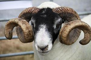 Swaledale Ram photo