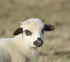 Little lamb photo