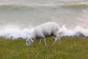 Sheep eating grass on a dike photo