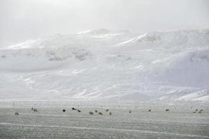 Sheep farm on the winter photo