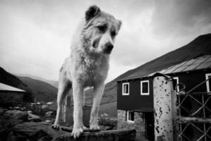 graciosos perros pastores en ushguli