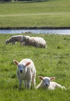 paire d'agneaux de printemps