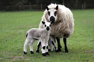 mother sheep with lamb photo