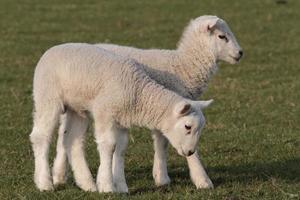 lambs grazing photo