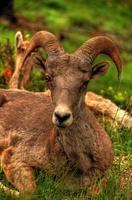 oveja de cuerno grande durmiendo en la hierba foto