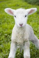 Soft Lamb photo