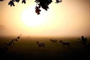 ovejas en la niebla foto