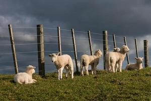 flock of lambs resting at fence photo