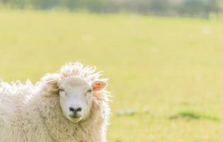 Sheep looking at camera.