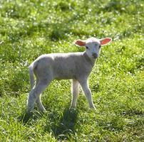 Lamb in nature