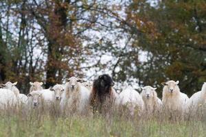 as ovelhas