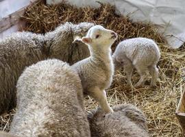 curious beautiful not shorn sheep with lamb