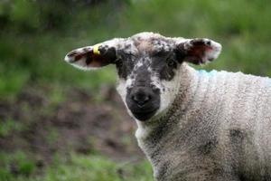 Dorset Lamb