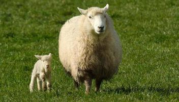madre oveja y su cordero mira a la cámara foto