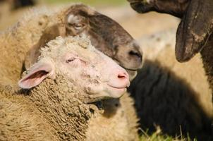 Head shot of young sheep standing by parents - photo