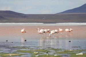 flamencos en el lago rojo, lago salado, bolivia foto