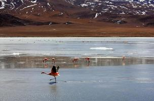 flamencos en el lago en la montaña de los andes, bolivia foto