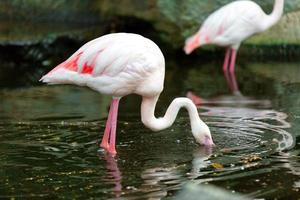 The pink flamingo  looks for a forage in water