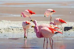 "Pink flamingos at ""Laguna Hedionda"" on the Bolivian Andes"