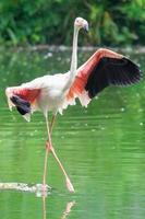 Greater Flamingo bird on the green swamp river