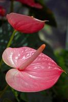 Pink flamingo flowers