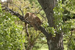 Sleeping wild mountain lion Morrison Colorado