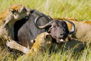 buffalo kil