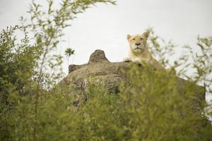 hermosa leona blanca