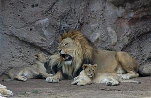 león africano con cachorro