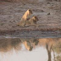 Reflecting Cubs
