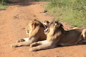 león bostezando foto