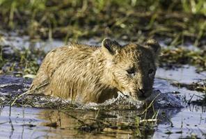 joven cachorro de león vadeando a través del agua foto
