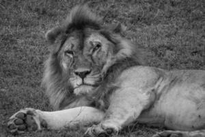 león gruñón foto