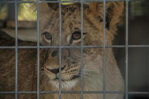 Lion cub stares out of cage