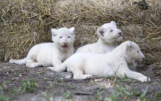 Pride of White Lion Cubs