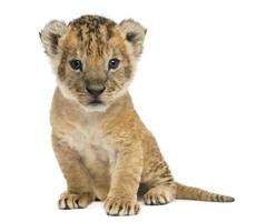 Lion cub sitting, looking at the camera, 16 days old