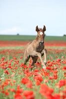 Arabian foal photo