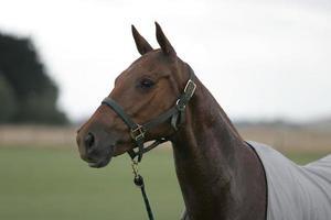 polo pony en reposo