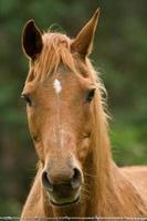 Chestnut Mare portrait photo