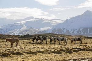 Herd of Icelandic horses in front of snowy mountains