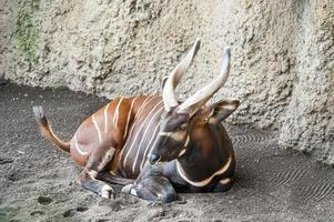 Eastern Bongo photo
