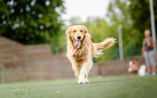 Golden retriever dog portrait in park
