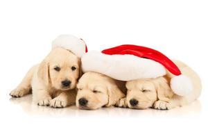 Three retriever puppies in a Santa Claus hat