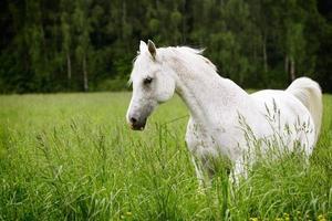 arab horse in field photo