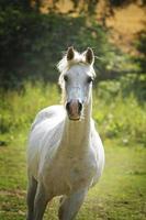 arabian horse running in nature photo