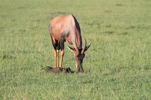 Portrait of a grazing Topi, Masai Mara, Kenya