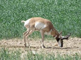 pronghorn antelope, Antilocapra americana