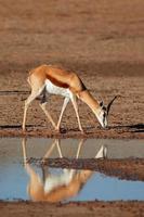 Springbok antelope